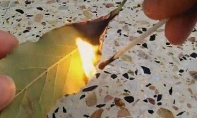 Zapalite Lovorov List