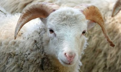 Ovca Med