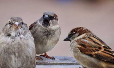 Poslanik Vrabac
